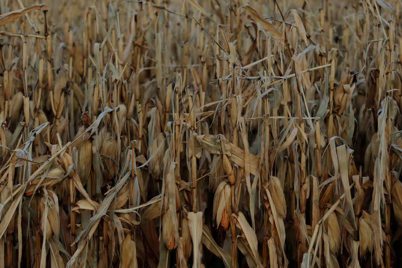 Seco e gelo deve dar queda de 50% nos campos de milho com 2,7 mi de perda a MS