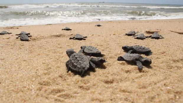 Tamar comemora 40 anos com 40 milhões de tartarugas soltas